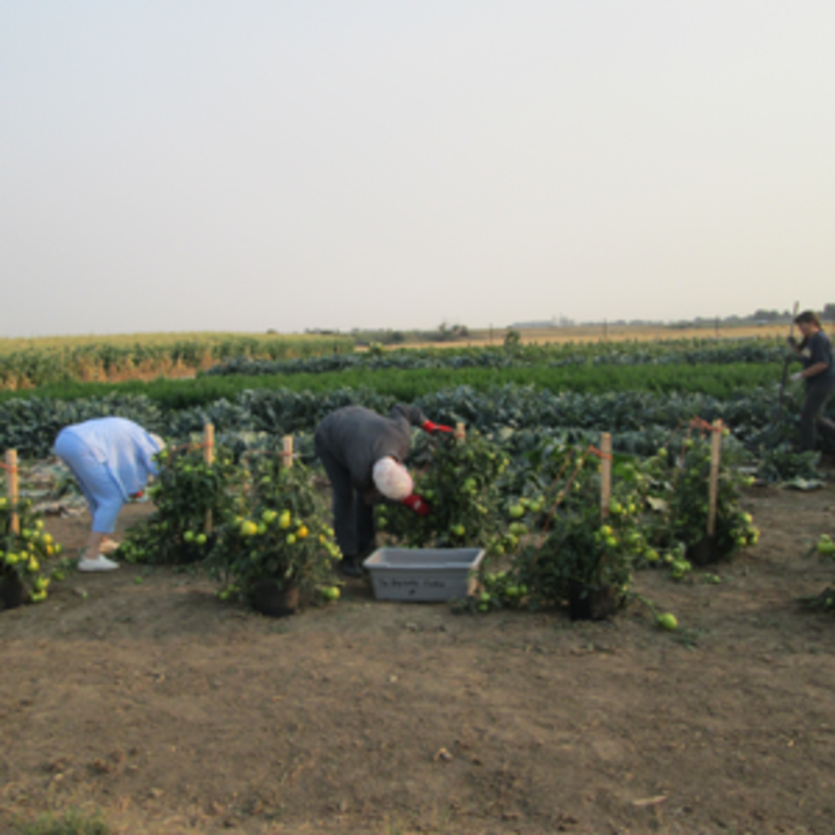 Taber Stake members picking tomatoes