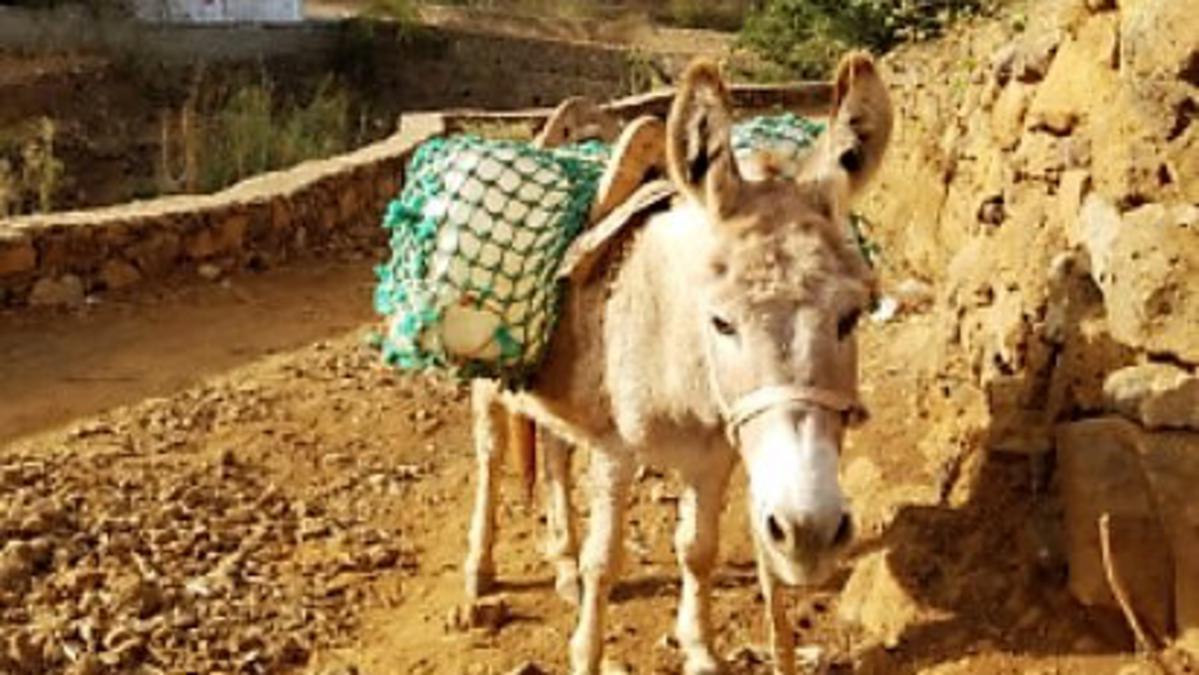 Um burro carrega suprimentos em Santo Antão