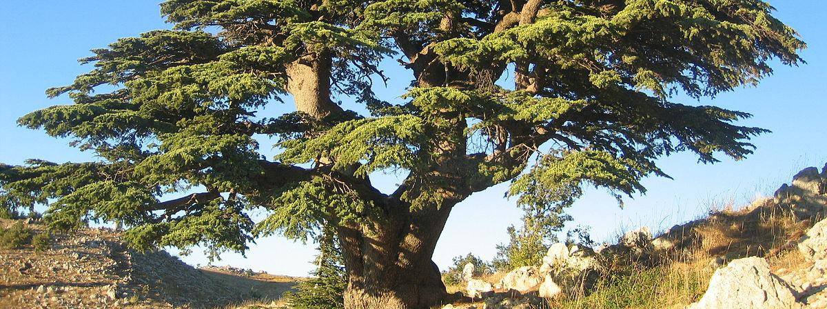 Cedar of Lebanon: 'Cèdre du Liban Barouk 2005' by Olivier BEZES. Licensed under CC BY 2.5 via Wikimedia Commons